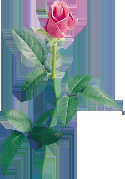 rose copy